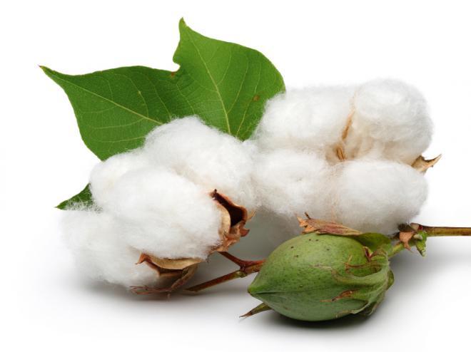 plante de coton